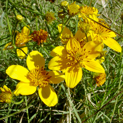 Bidens aurea - Arizona Beggarticks, Apache Beggarticks, Bur Marigold (flowers)