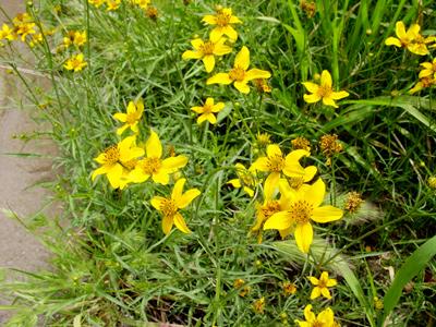 Bidens aurea - Arizona Beggarticks, Apache Beggarticks, Bur Marigold