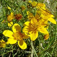 Yellow Flowers - Bidens aurea – Arizona Beggarticks