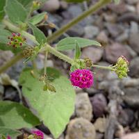 Pink Flowers - Boerhavia coccinea – Scarlet Spiderling