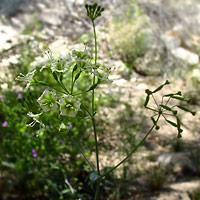 Green Flowers - Boerhavia scandens – Climbing Wartclub