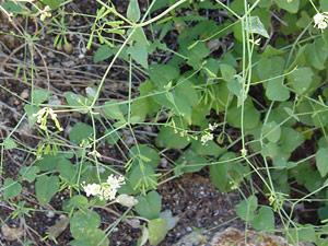 Boerhavia scandens - Climbing Wartclub, Bush Spiderling