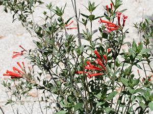 Bouvardia ternifolia - Firecrackerbush, Firecracker Bush