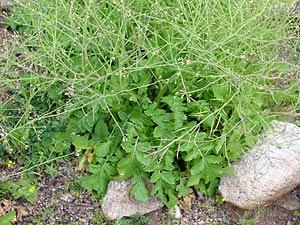 Brassica tournefortii - Asian Mustard, Sahara Mustard