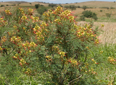 Caesalpinia gilliesii - Bird-of-paradise Shrub, Yellow Bird of Paradise