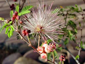 Calliandra eriophylla - Fairyduster, Fairy Duster