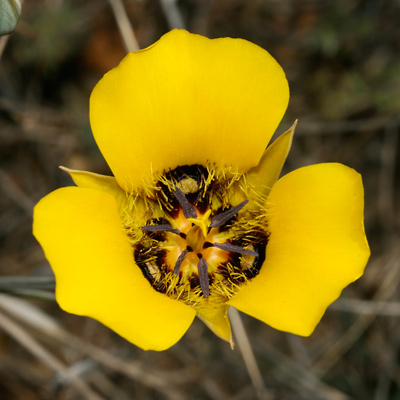 Calochortus kennedyi - Desert Mariposa Lily (yellow flower)