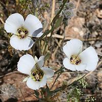 White Flowers - Calochortus ambiguus – Doubting Mariposa Lily