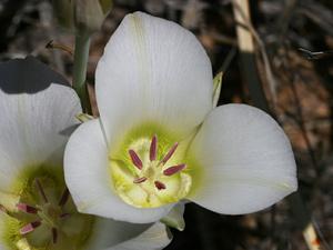 Calochortus ambiguus - Doubting Mariposa Lily