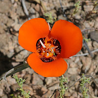 Orange Flowers - Calochortus kennedyi – Desert Mariposa Lily