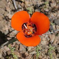Orange Flowers - Calochortus kennedyi – Desert Mariposa Lily