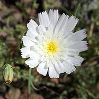 White Flowers - Calycoseris wrightii – White Tackstem