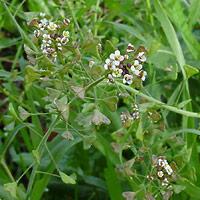 White Flowers - Capsella bursa-pastoris – Shepherd's Purse