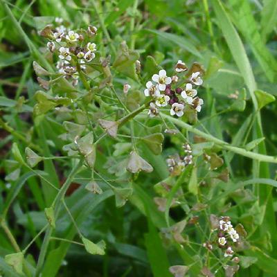 Capsella bursa-pastoris - Shepherd's Purse
