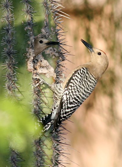 Breeding pair of Gila Woodpeckers (Melanerpes uropygialis) in a Carnegiea gigantea - Saguaro, Sahuaro