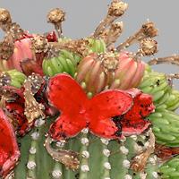 Conspicuous Fruit or Cones - Carnegiea gigantea – Saguaro
