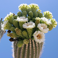 White Flowers - Carnegiea gigantea – Saguaro