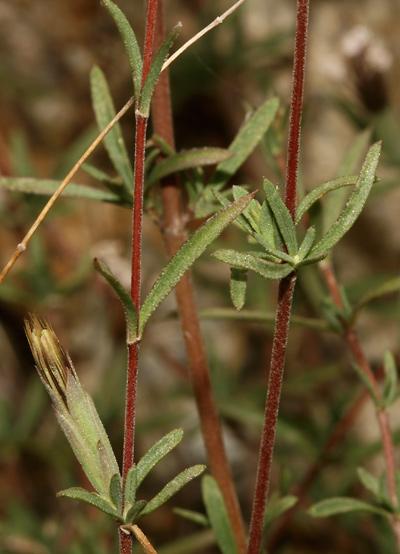 Carphochaete bigelovii - Bigelow's Bristlehead, Bigelow Bush (leaves)