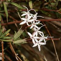 White Flowers - Carphochaete bigelovii – Bigelow's Bristlehead