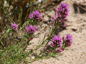 Castilleja exserta - Exserted Indian Paintbrush, Purple Owl's-clover