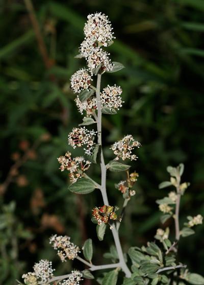Ceanothus fendleri - Fendler's Ceanothus, Fendler Ceanothus, Fendler's Buckbrush