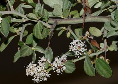 Ceanothus fendleri - Fendler's Ceanothus, Fendler Ceanothus, Fendler's Buckbrush (stem spine)