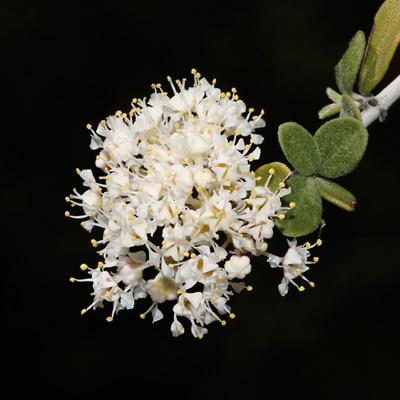 Ceanothus greggii - Desert Ceanothus (flowers)