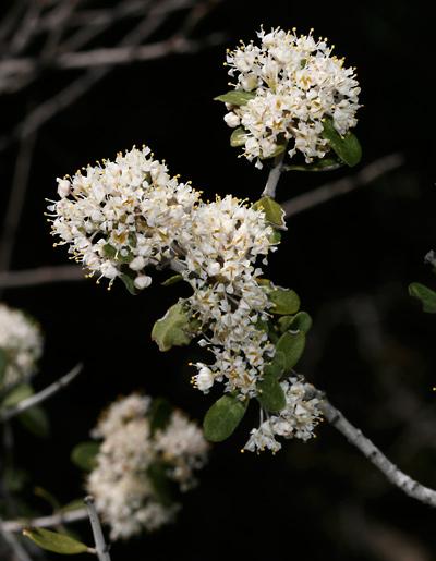 Ceanothus greggii - Desert Ceanothus