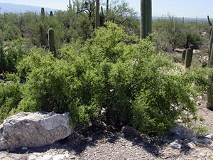 Celtis ehrenbergiana - Spiny Hackberry, Desert Hackberry