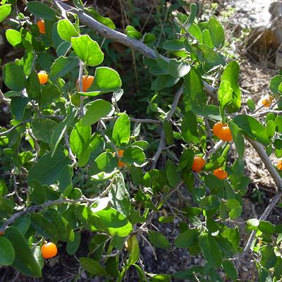 Celtis ehrenbergiana - Spiny Hackberry, Desert Hackberry