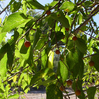 Celtis laevigata var. reticulata - Netleaf Hackberry (leaves and berries)