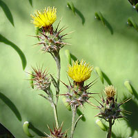 Yellow Flowers - Centaurea melitensis – Maltese Star-thistle