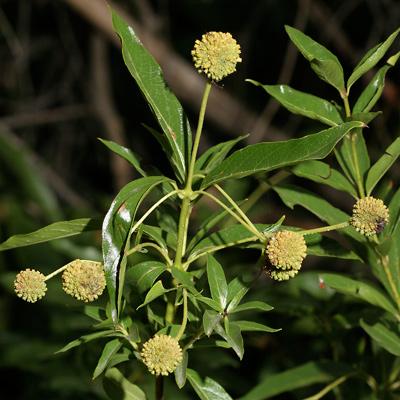 Cephalanthus occidentalis - Common Buttonbush (fruit)