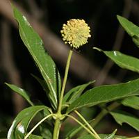 Conspicuous Fruit or Cones - Cephalanthus occidentalis – Common Buttonbush