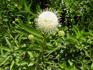 Cephalanthus occidentalis - Common Buttonbush