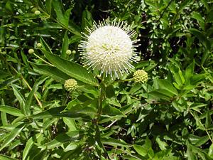Cephalanthus Occidentalis Common Buttonbush