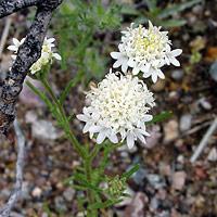White Flowers - Chaenactis stevioides – Esteve's Pincushion