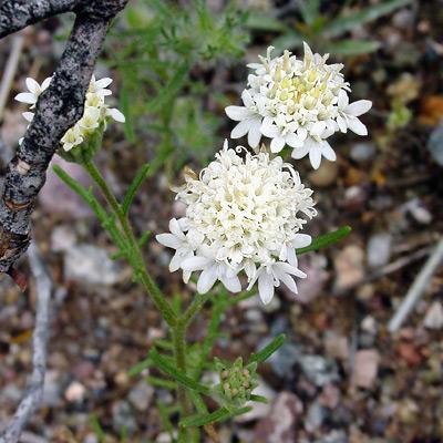 Chaenactis stevioides - Esteve's Pincushion, Steve's Dustymaiden