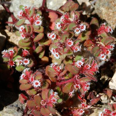 Chamaesyce setiloba - Yuma Sandmat, Yuma Spurge (flowers)