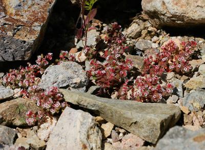 Chamaesyce setiloba - Yuma Sandmat, Yuma Spurge