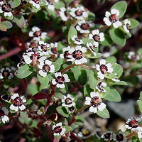 White Flowers - Chamaesyce polycarpa – Smallseed Sandmat