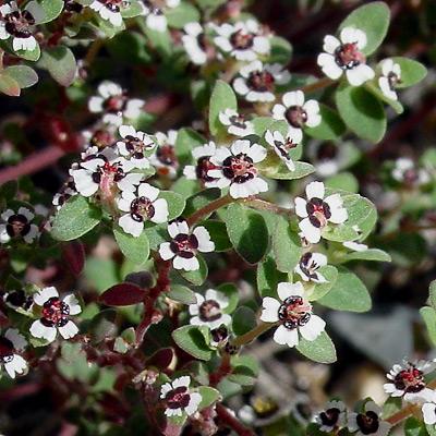 Chamaesyce polycarpa - Smallseed Sandmat