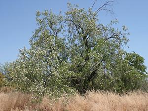 Chilopsis linearis - Desert Willow