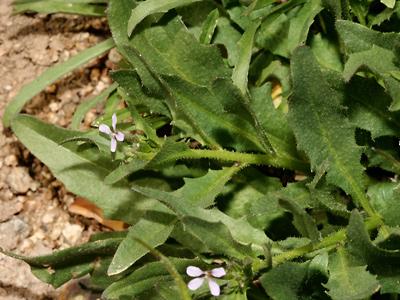 Chorispora tenella - Crossflower, Purple Mustard, Blue Mustard, Common Bluemustard, Musk Mustard, Beanpodded Mustard, Tenella Mustard (leaves)