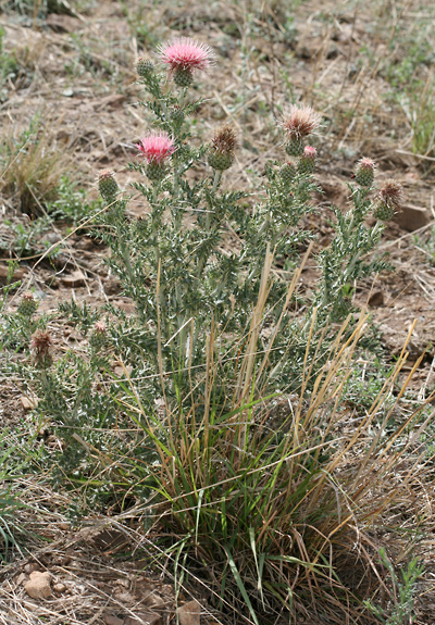 Cirsium ochrocentrum - Yellowspine Thistle, Yellow-spine Thistle