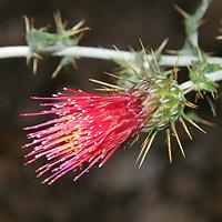 Red Flowers - Cirsium arizonicum – Arizona Thistle