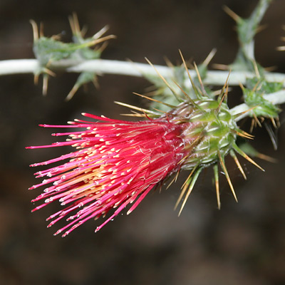 Cirsium arizonicum - Arizona Thistle