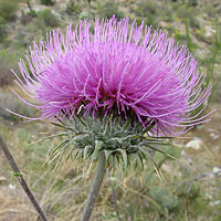 Purple and Blue Flowers - Cirsium neomexicanum – New Mexico Thistle