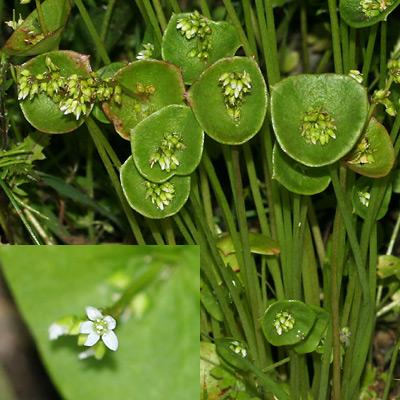 Claytonia perfoliata - Miner's Lettuce