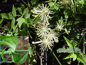 Clematis drummondii - Drummond's Clematis, Old Man's Beard, Texas Virgin's Bower